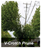 v-crotch prune
